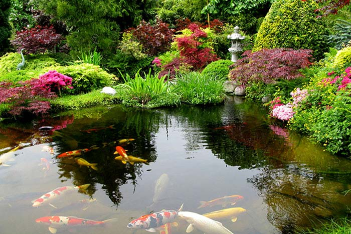 asian garden koi fish pond